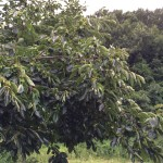 渋柿収穫体験と工場見学会のご案内