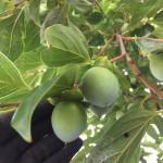 渋柿収穫体験と工場見学会のお知らせ