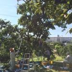 無事開催。渋柿収穫体験と工場見学会