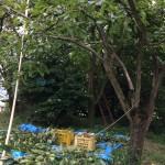 渋柿の収穫の仕方